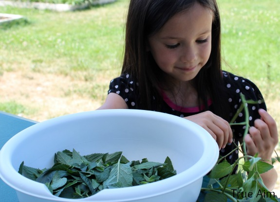 picking fresh mint for simple syrup