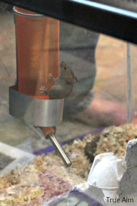 house mouse as pet