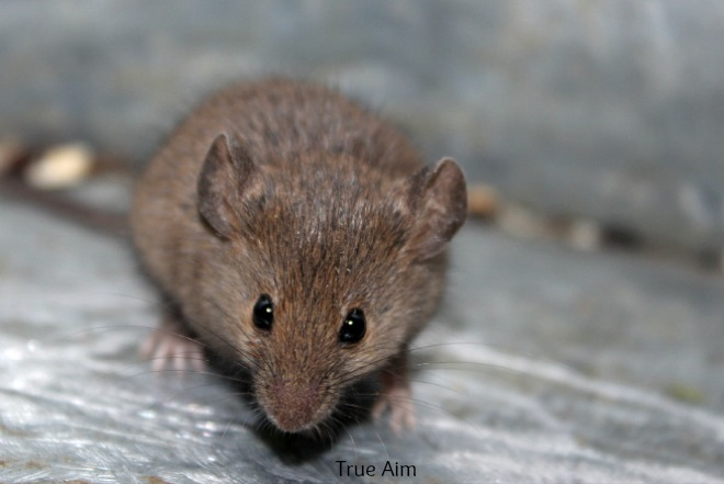 house mouse for pet